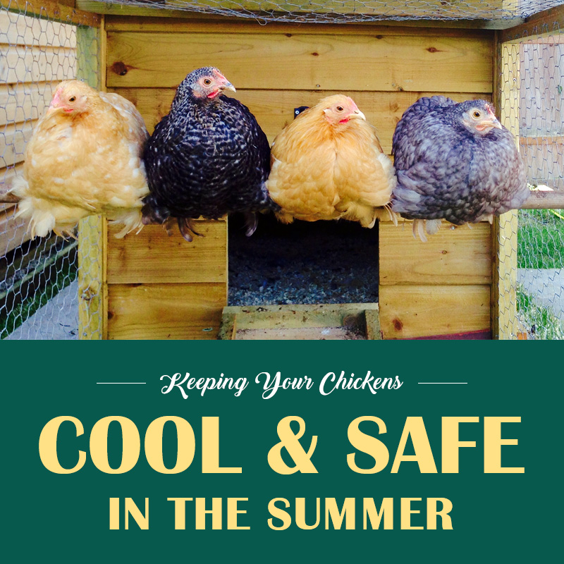 Keeping Your Chickens Cool and Safe in the Summer