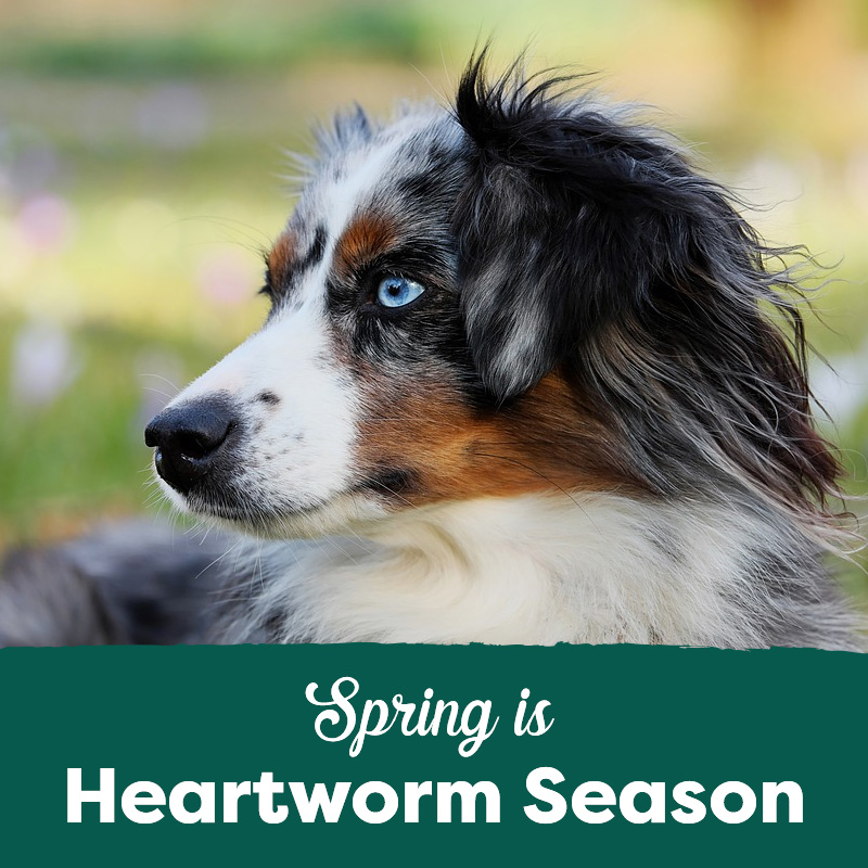 Spring is Heartworm Season